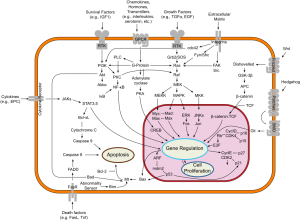 Signal transduction pathways (source: http://en.wikipedia.org/wiki/File:Signal_transduction_v1.png author: cybertory)
